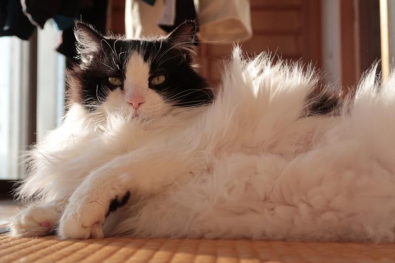 【ねこ自慢】白黒の牛柄猫、ラグドール×メインクーンのシグマ